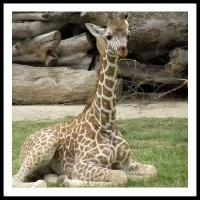 100 Pics Baby Animals Level 33