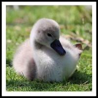 100 Pics Baby Animals Level 34